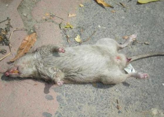 Các giác quan của chuột - diệt chuột giá rẻ 2016